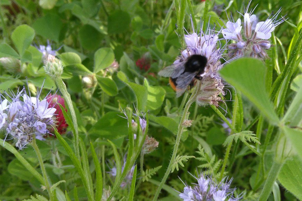 Honungsfacelia och humla