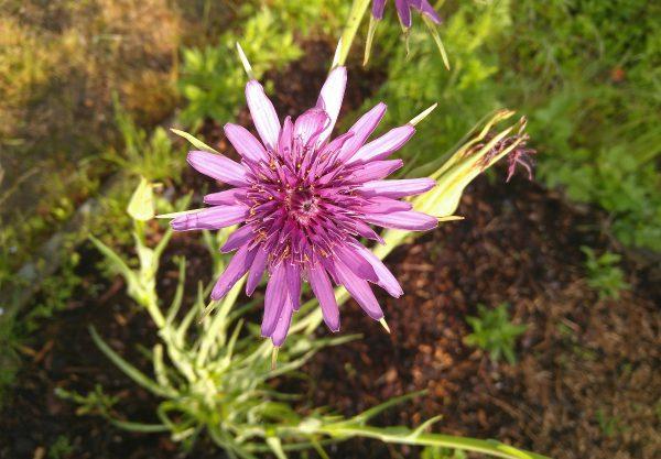 blommande haverrot