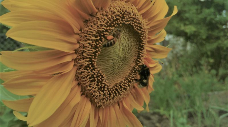 honungsbi och humla på solros_