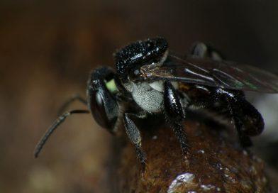 Tetragonula carbonaria - photo: James Niland (CC BY 2.0)