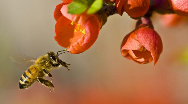 pollinerande bi
